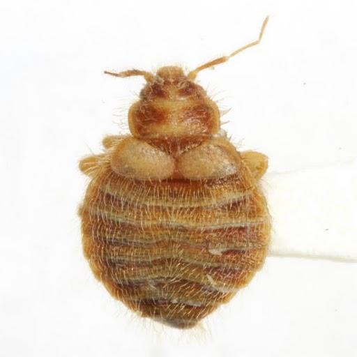 Oeciacus vicarius Horvath - Oeciacus vicarius