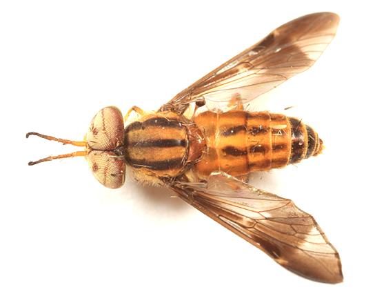 Deer Fly - Chrysops lateralis - male