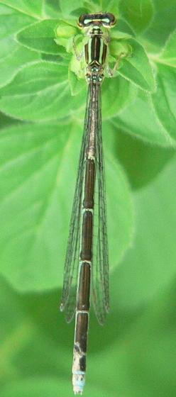 Stream Bluet - Enallagma exsulans - female