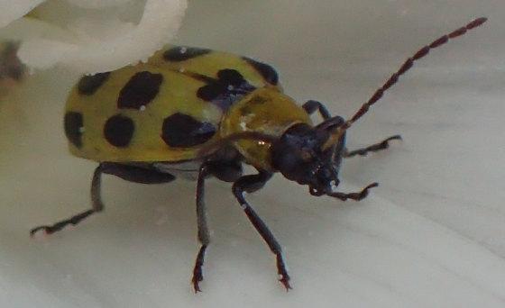 Unknown lady beetle - Diabrotica undecimpunctata