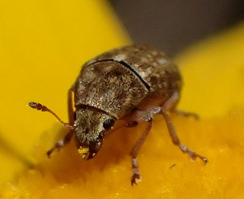 Trigonorhinus limbatus ? - Trigonorhinus limbatus