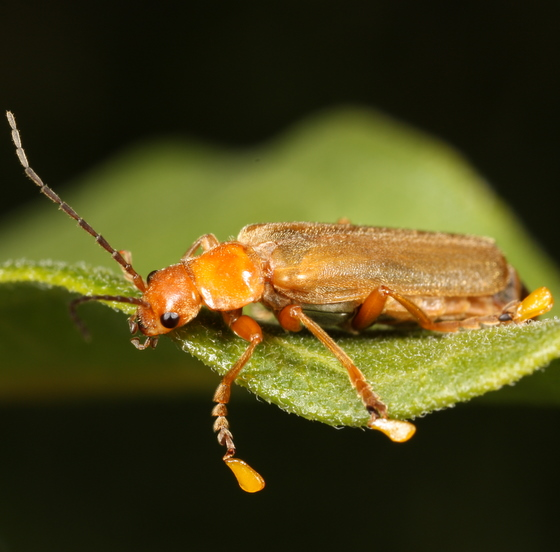 Soldier beetle with a milkweed pollinium on each foot - Cantharis rufa