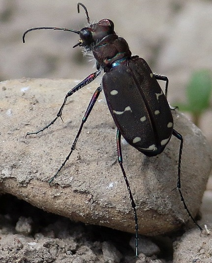 Undetermined Tiger Beetle - Cicindela duodecimguttata - female