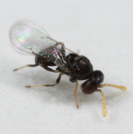 Tiny wasp from white oak leaf - Baryscapus - female