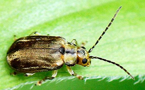 Beetle - Pyrrhalta viburni