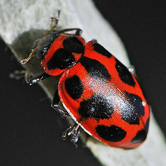 Spotted Ladybug Beetle, Naemia seriata, probably N. s. litigiosa - Naemia seriata