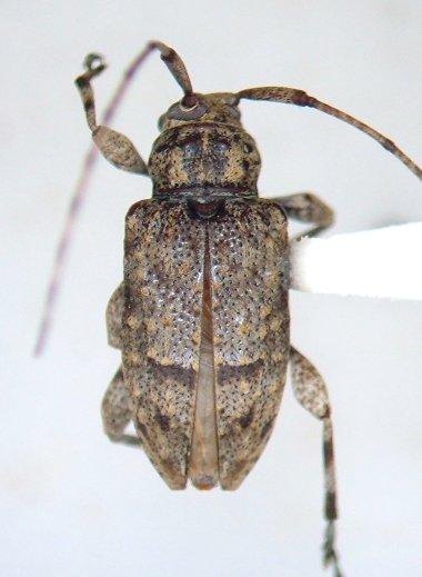 Cerambycid - Leptostylopsis terraecolor