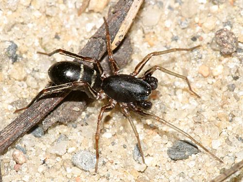Ant Mimic Spider - Castianeira cingulata - male