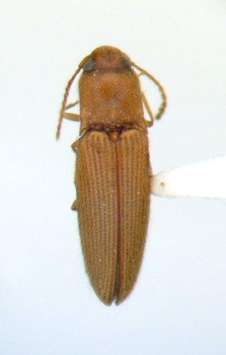Glyphonyx 02 - Glyphonyx nanus