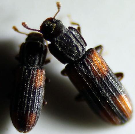 Bitoma crenata West - Bitoma crenata