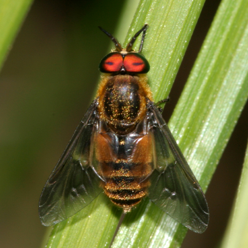 Deer Fly - Chrysops frigidus - male