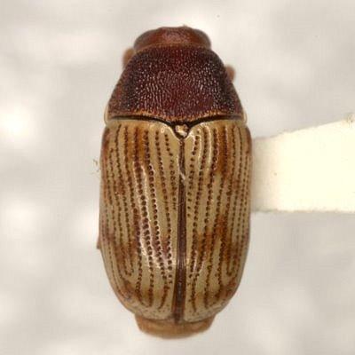 Cryptocephalus schreibersii Suffrian - Cryptocephalus schreibersii