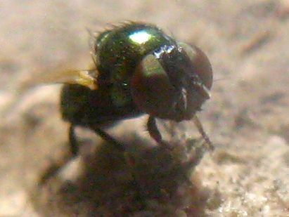 Small metallic-green Fly with black face and pale tarsi on Manroot - Lamprolonchaea smaragdi