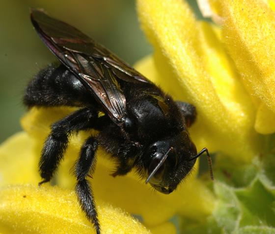 Xylocopa varipuncta - female