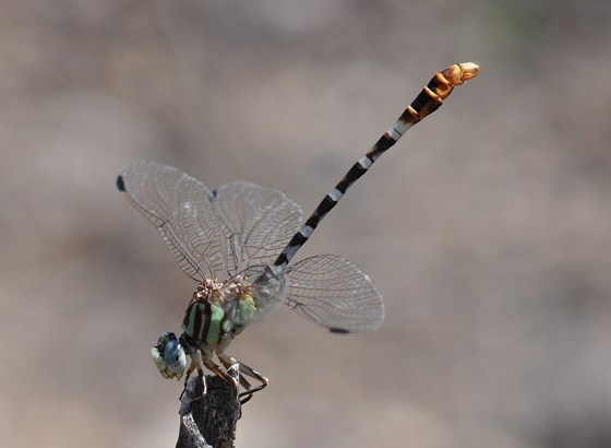 unknown dragonfly - Erpetogomphus lampropeltis