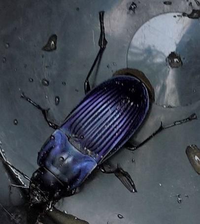 Purple Beetle - Dicaelus purpuratus