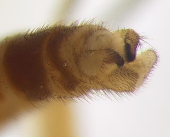 Diptera, end of abdomen - Symmerus lautus - male