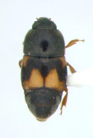 Carpophilus 02 - Carpophilus hemipterus