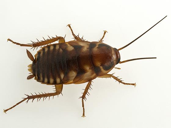 Australian cockroach? - Periplaneta australasiae