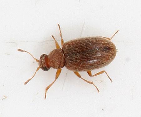 tiny beetle - Melanophthalma