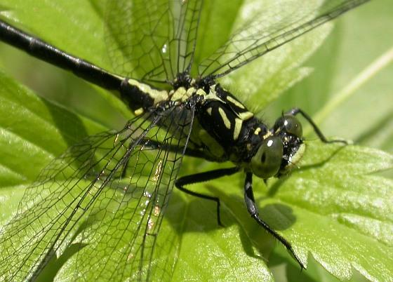 Southern Pygmy Clubtail - Lanthus vernalis - male