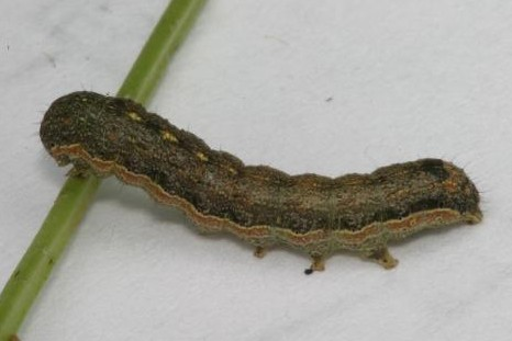 Gray Moth - Sequence from Eggs to Adult - Peridroma saucia