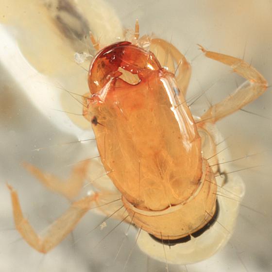 Caddisfly - Chimarra