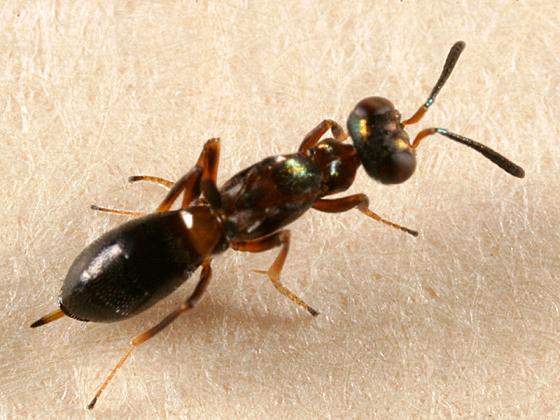 tiny flightless wasp - Eupelmus vesicularis - female