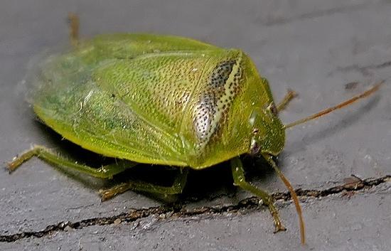 stink bug - Piezodorus guildinii