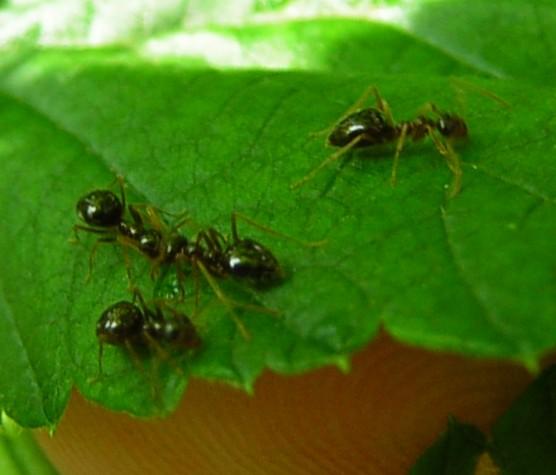 Winter Ant for DE in July - Prenolepis imparis