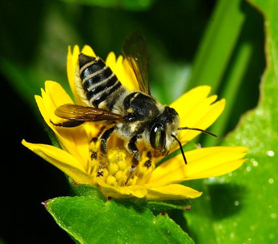 Megachilid Bee - Megachile albitarsis - female