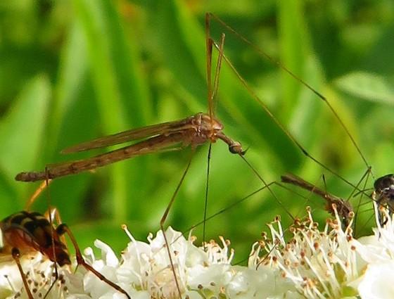 crane fly - Toxorhina magna