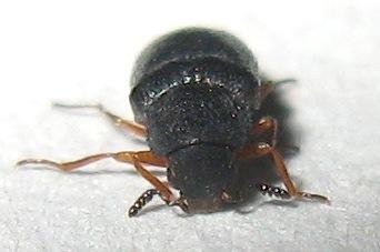 Beetle - Semijulistus flavipes
