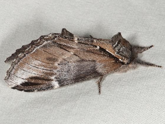 Pheosia portlandia - Pheosia rimosa