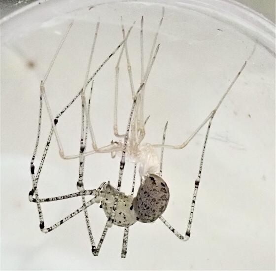 Scytodes atlacoya - female