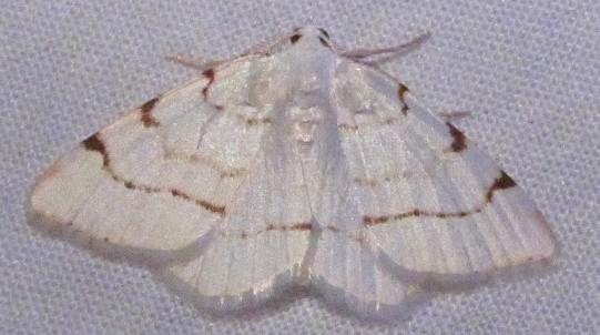 Speranza pustularia Lesser Maple Spanworm - Macaria pustularia - male