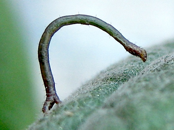 Larva on buddleia - Pero