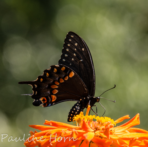 male Black Swallowtail vs. male Spicebush Swallowtail? - Papilio polyxenes