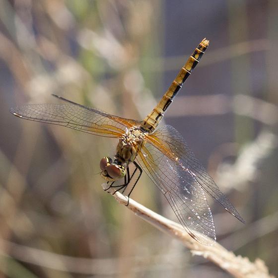 Yellow Dragonfly - Sympetrum semicinctum