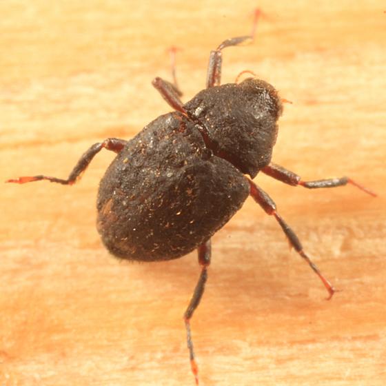 Riffle Beetle - Optioservus ovalis