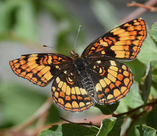 Butterfly species? - Chlosyne hoffmanni