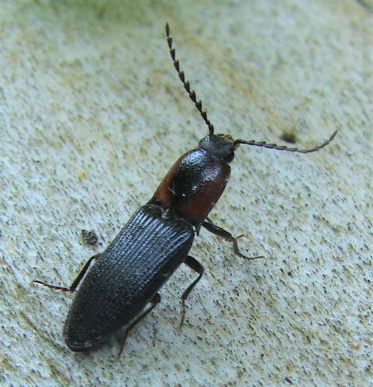 Click Beetle - Ex-ctenicera signaticollis