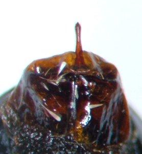 Phyllophaga fusca - female