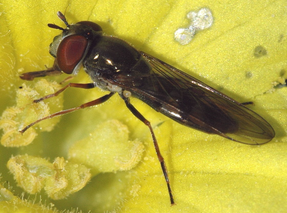 Unknown Syrphidae - Platycheirus - female