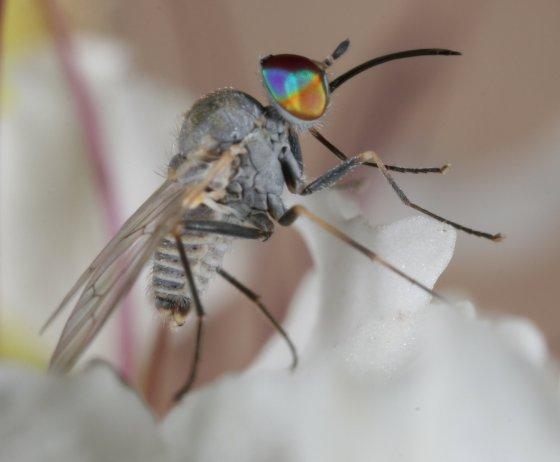 fly 72 - Tmemophlebia
