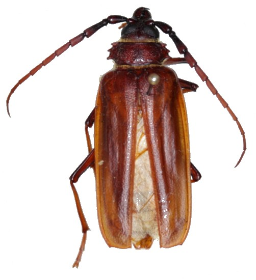 Derobrachus brevicollis