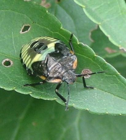 beetle unidentified - Chinavia hilaris