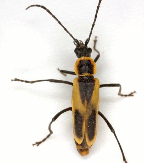 Chauliognathus scutellaris LeConte - Chauliognathus scutellaris