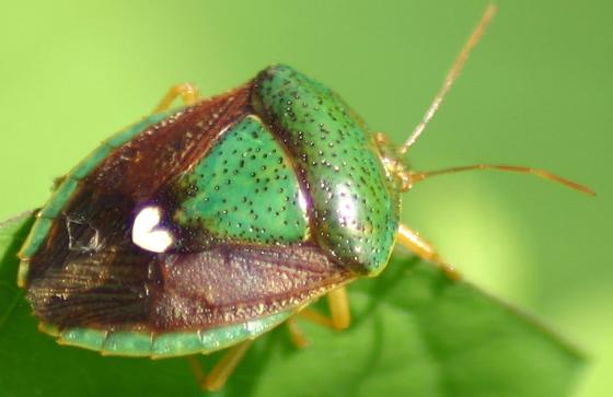 Stink Bug.... - Ascra bifida