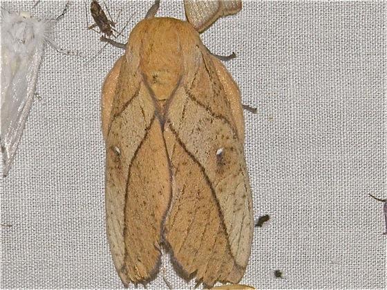 Large Moth - Syssphinx montana